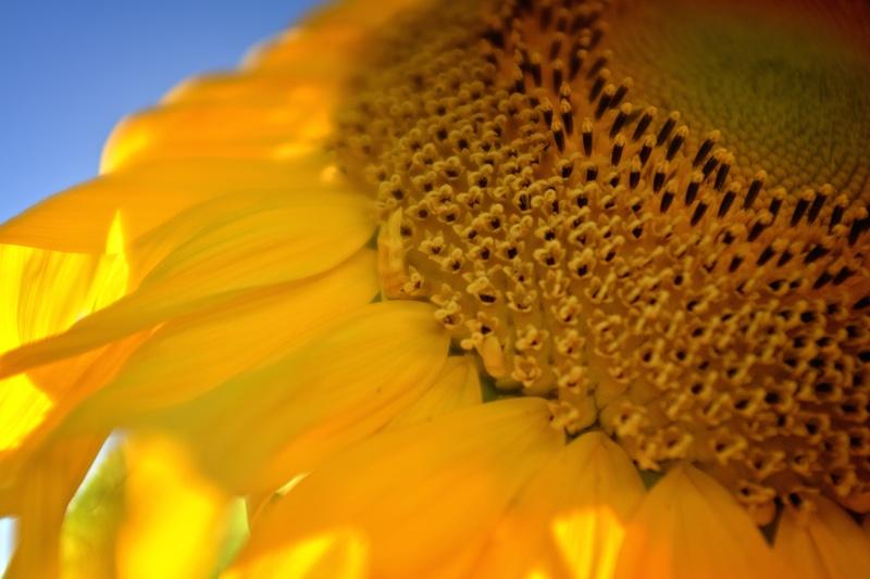 Sun Flower Detail